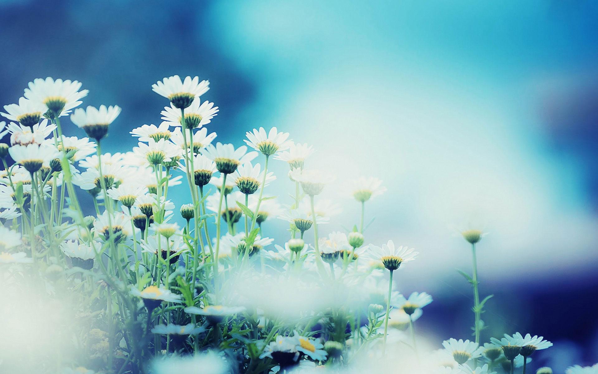 Ảnh background hd với hoa cúc đẹp